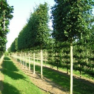 Acer campestre 'Elsrijk' schermvorm