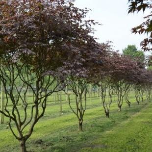 Acer palmatum 'Bloodgood' meerstammig klein