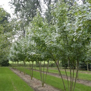 Acer rubrum 'Somerset' meerstammig breed