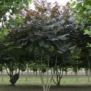Ailanthus altisma 'Sangiovese' meerstammig opgaand