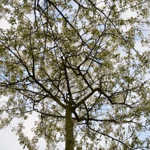 Amelanchier lamarckii brede kroon