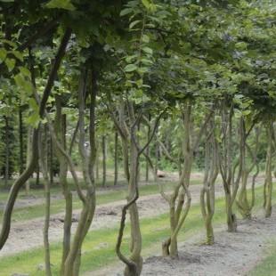 Carpinus betulus meerstammig breed en opgaand