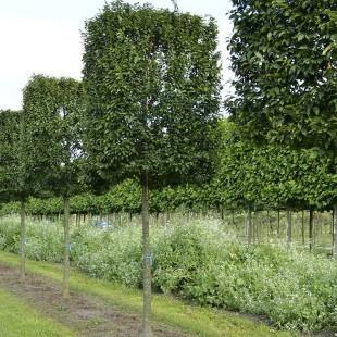 Carpinus betulus (select) blokvorm