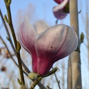 Magnolia 98132-C Zuil Rode bloem
