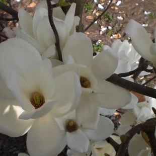 Magnolia denudata 'Whiet'
