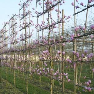Magnolia loepneri 'Leonard Messel' lage lei en scherm