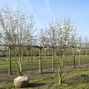 Magnolia loebneri 'Merrill' meerstammig breed