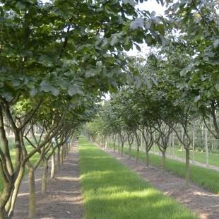 Parrotia persica eigenwijs uitgelicht