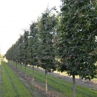 Parrotia persica lage lei