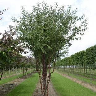 Prunus serrula 'Branklyn' meerstammig opgaand