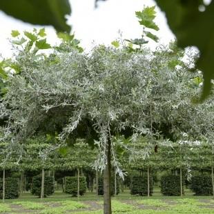 Pyrus salicifolia 'Pendula' dakvorm