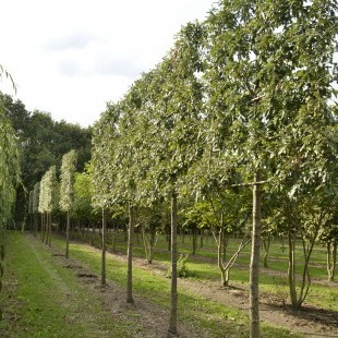 Quercus cerris 'Marvellous' scherm