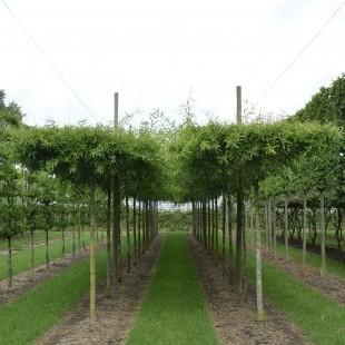 Quercus phellos dakvorm
