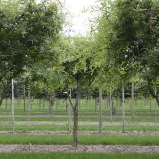 Quercus phellos meerstammig dak