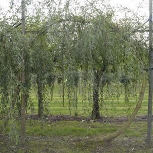 Salix Looping