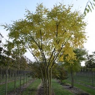 Sophora japonica meerstammig breed en opgaand