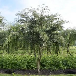 Sorbus folgneri 'Emiel' meestammig breed en klein
