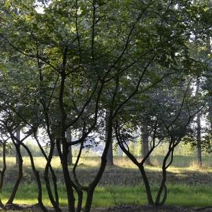 Zelkova carpinifolia meerstammig breed
