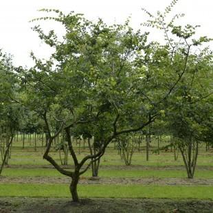 Zelkova carpinifolia eigenwijs uitgelicht