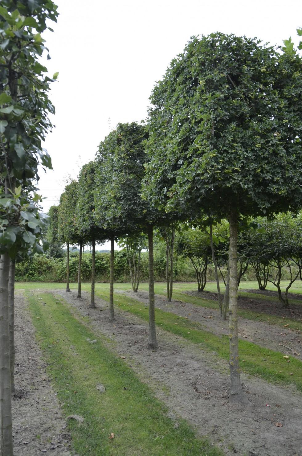 acer campestre 39 elsrijk 39 van roessel topiary trees. Black Bedroom Furniture Sets. Home Design Ideas