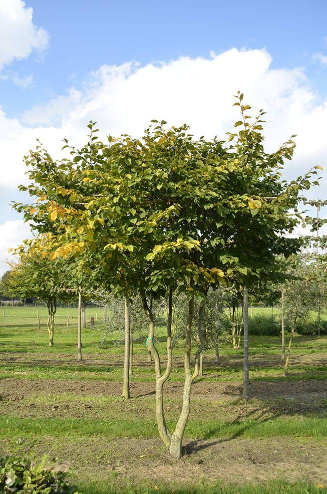 Carpinus Betulus Van Roessel Topiary Trees