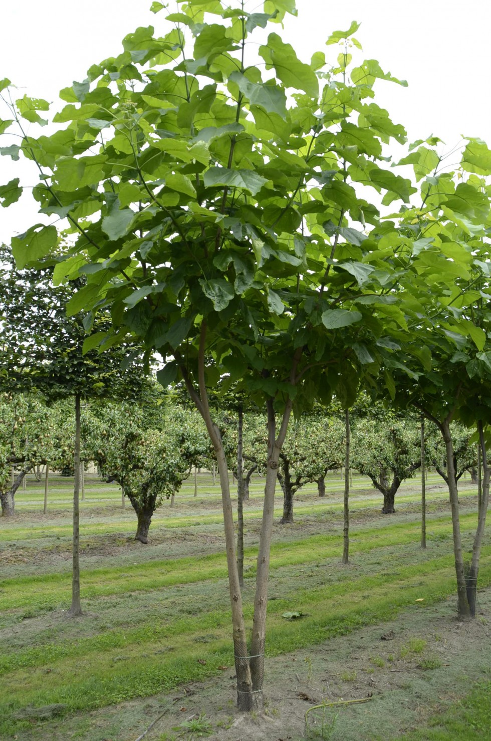 catalpa bignonioides catalpa bignonioides southern catalpa go botany catalpa bignonioides. Black Bedroom Furniture Sets. Home Design Ideas