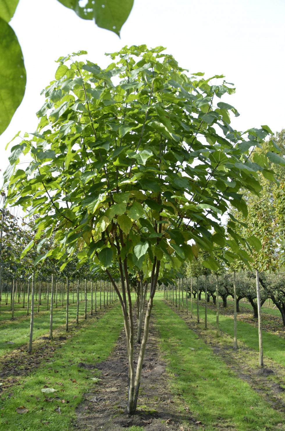 catalpa bignonioides van roessel topiary trees. Black Bedroom Furniture Sets. Home Design Ideas