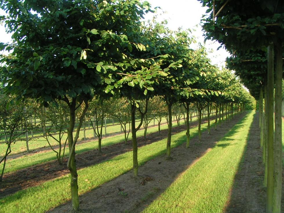 Parrotia persica | Van...