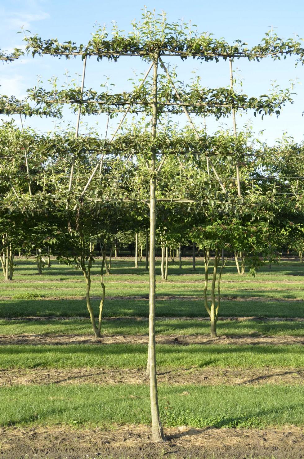 Pyrus communis | Van Roessel Topiary Trees
