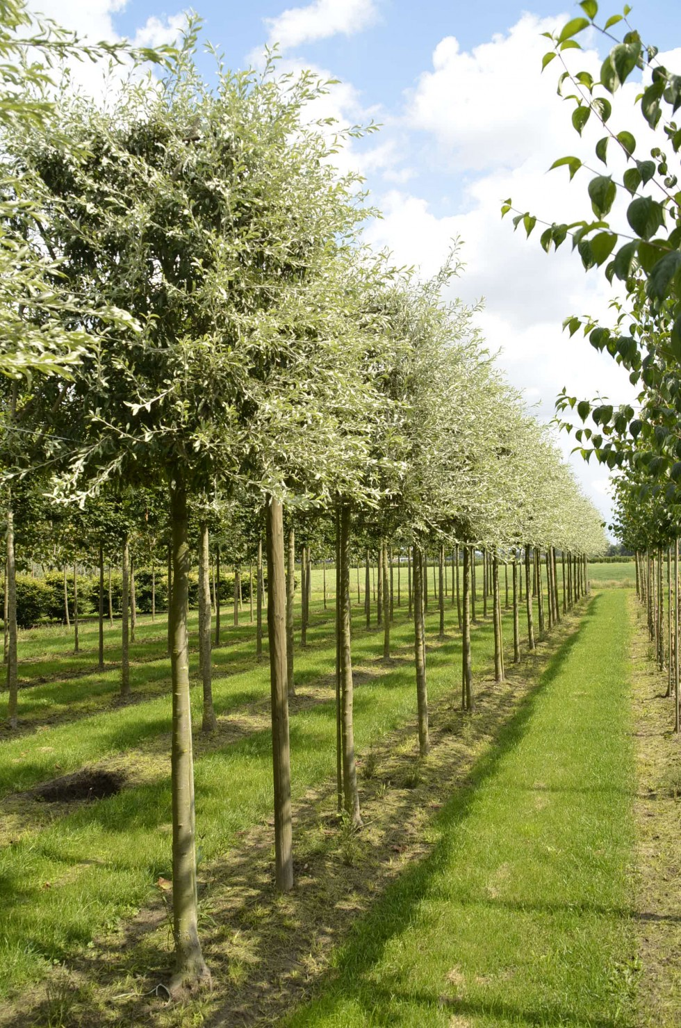 pyrus salicifolia 39 pendula 39 van roessel topiary trees. Black Bedroom Furniture Sets. Home Design Ideas